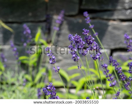 lavander garden plants flora grasslend Foto stock ©