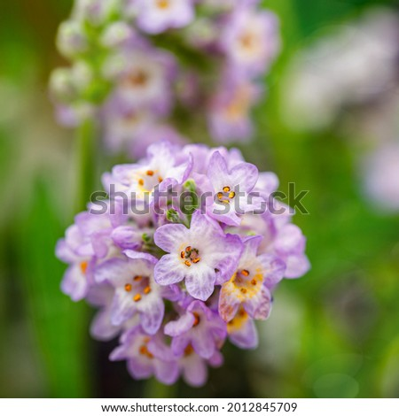 Lavandula angustifolia var. Felice Purple. Lavender blossoming plant, close up macro. Compact lavender with grey-green foliage and spikes of light purple flowers. Foto d'archivio ©