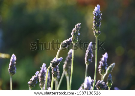Lavandula dentata, fringed lavender or French lavender, is a flower with lance-shaped leaves, toothed edges, spikes of purple flowers,  pale violet bracts and strongly aromatic with fragrance.