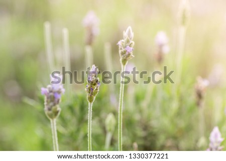 Lavandula is a genus of plants of the lamiaceae family, which contains about 60 species known as lavender, lavender, lavender or lavender, among many other common names #1330377221