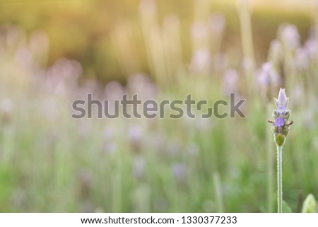 Lavandula is a genus of plants of the lamiaceae family, which contains about 60 species known as lavender, lavender, lavender or lavender, among many other common names #1330377233