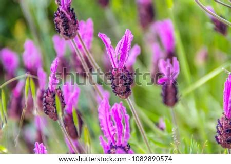 Lavandula pedunculata, French Lavender, Butterfly lavender, Lavandula stoechas