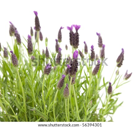 Lavandula Stoechas (French lavender; Spanish Lavender; Topped Lavender); isolated on white