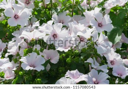 lavatera white Dwarf Pink Blush beautiful white flowers with pink stripes from the core, a large bush in full bloom, the plant is lit by the sun, thin light green foliage, #1157080543