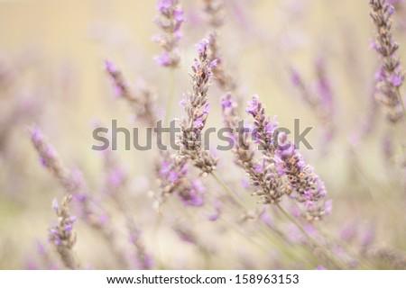 Lavender  #158963153