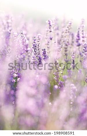 Lavender #198908591