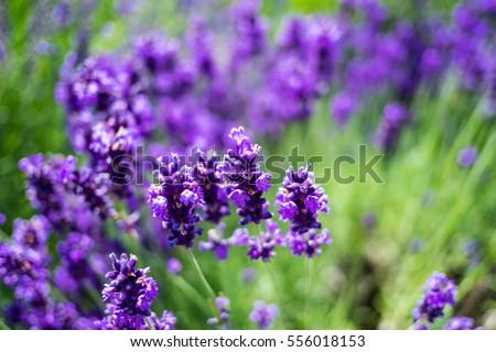 lavender #556018153