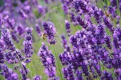 Lavender and bee in Danish Garden.