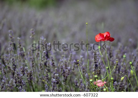 Lavender and poppy flower