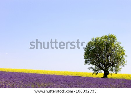 Lavender and yellow flowers blooming field and a lonely tree. Valensole, Provence, France, Europe.