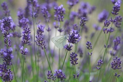 Lavender bed with butterfly in the garden