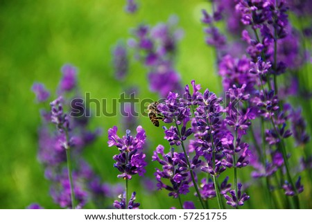Lavender blooms and a bee with a shallow DOF