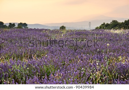 Lavender blossoms in Lavandula Officinalis plantation in Southern France, French Provence - stock photo