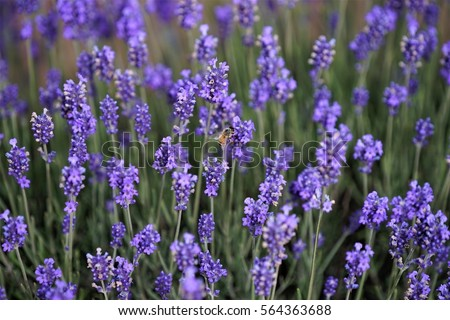 Lavender blossoms with a bee #564363688