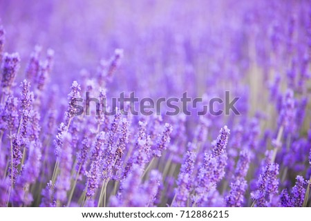 Lavender bushes closeup on evening. Evening light over purple flowers of lavender. Violet bushes at the center of picture. Provence region of france.