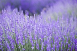 Lavender bushes closeup on evening light. Purple flowers of lavender. Provence region of france.