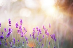 Lavender bushes closeup on sunset. Lavender field closeup. Blooming lavender.Sunset gleam over purple flowers of lavender. Provence region of france.