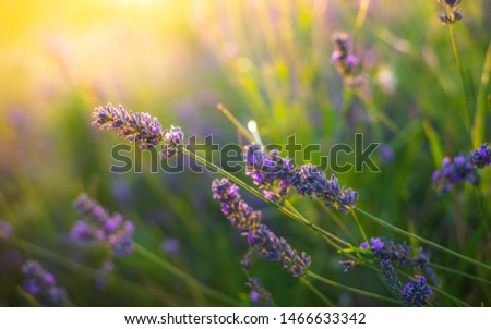 Lavender bushes closeup on sunset. Sunset gleam over purple flowers of lavender. Bushes on the center of picture and sun light on the top left