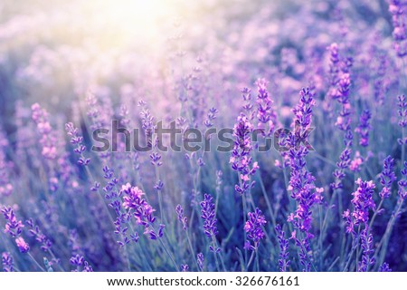 stock photo lavender bushes closeup on sunset sunset gleam over purple flowers of lavender bushes on the 326676161 - Каталог — Фотообои «Цветы»