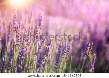 Lavender bushes closeup on sunset. Sunset gleam over purple flowers of lavender. Provence region of france. Foto stock ©