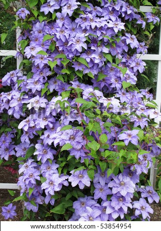 lavender clematis vine on white trellis fence