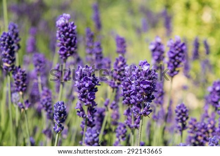 Lavender Close Up - Fragrant Herb Garden