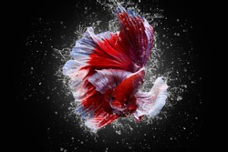 Lavender dumbo betta,Lavender Big ears HMPK,Multi color Siamese fighting fish(Rosetail-halfmoon),fighting fish,Betta splendens,on black background