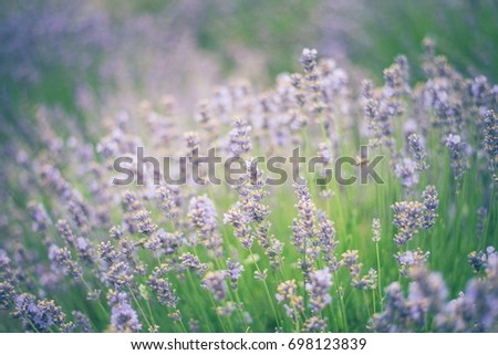 Lavender field Stock fotó ©