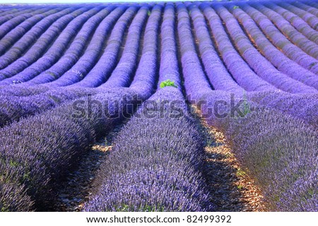 Lavender field at Provence, France