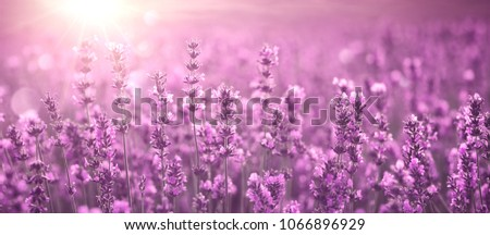 Lavender field at sunset #1066896929