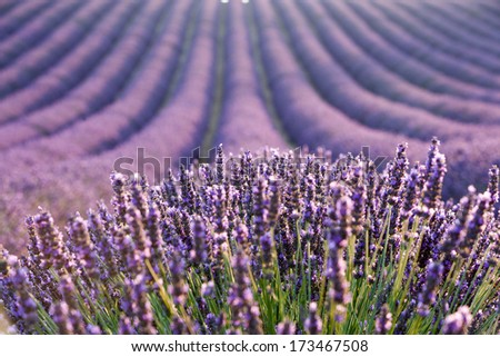 Lavender field during sunrise