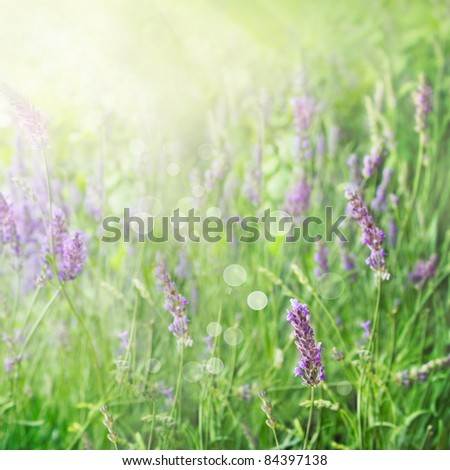 Lavender field floral  summer or spring background. Field with lavender flowers and beautiful bokeh lights