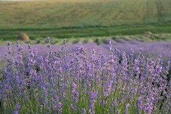 Lavender field in full season