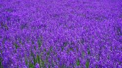 Lavender field In Furano ,Hokkaido ,Japan