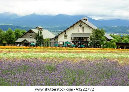 lavender field in Hokkaido in Japan