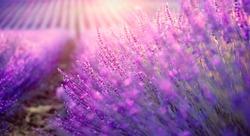 Lavender field in Provence, France. Blooming Violet fragrant lavender flowers. Growing Lavender swaying on wind over sunset sky, harvest.