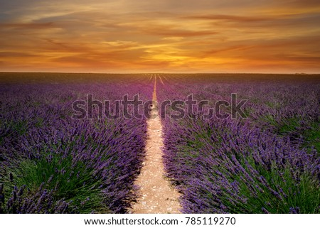 lavender field in south of the France, it is sunset time