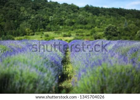 Lavender field in Summer near Tihany, Hungary Stock fotó ©