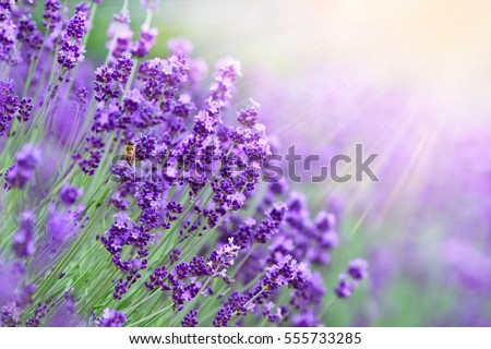 Lavender field in sunlight. #555733285