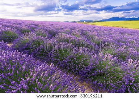 Lavender field in sunlight,Provence, Plateau Valensole. Beautiful image of lavender field.Lavender flower field, image for natural background.Very nice view of the lavender fields.  #630196211