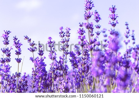 Lavender Field in the summer #1150060121