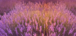 Lavender field in the sunset, background, texture.