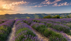Lavender field landscape in Sale San Giovanni, Langhe, Cuneo, Italy. sunset blue sky with orange clouds