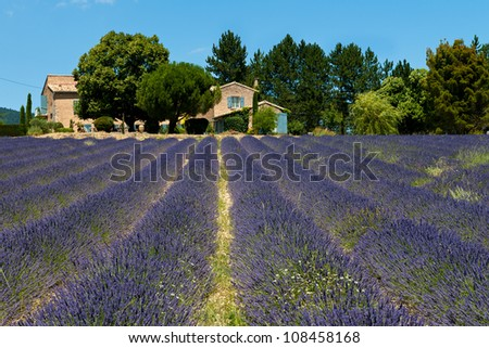 Lavender field (Lavandula angustifolia), Plateau de Sault, the land of blue gold!
