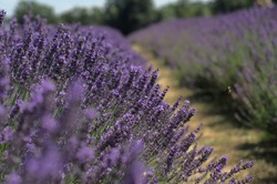 Lavender field on a sunny summer day. Tender flowers and bees lying around. Majestic scent and aroma.