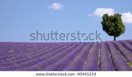 Lavender field (Provence,France)