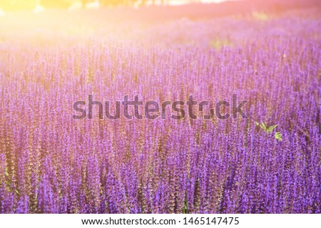 Lavender field. Sunrise over the french fields. #1465147475