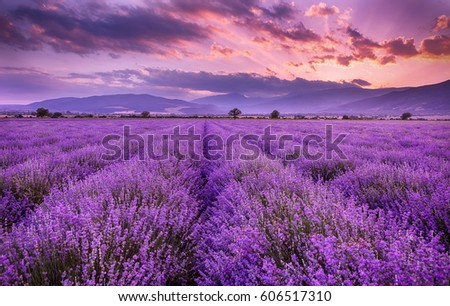 Lavender field sunset and lines 商業照片 ©