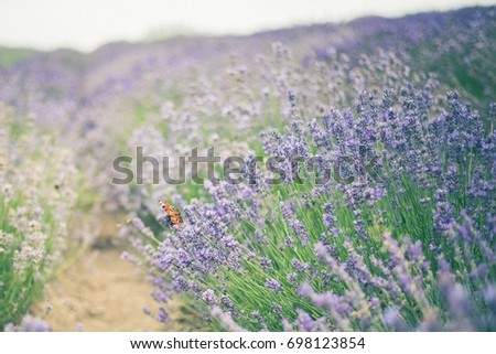 Lavender field with butterfly Stock fotó ©