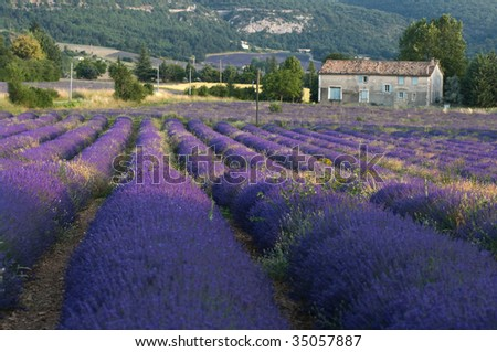 Lavender field with farmhouse